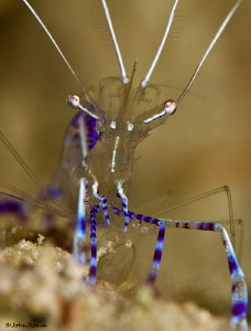 Pedersen Cleaner shrimp  Carib Inn reef by John Roach 